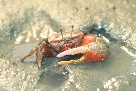 arcuata: Fiddler crab  Uca arcuata  in Japan Stock Photo