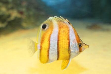 chaetodon: Brownbanded butterflyfish (Chaetodon modestus) in Japan