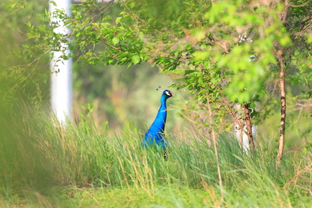 peafowl: Male Indian peafowl (Pavo cristatus) Stock Photo