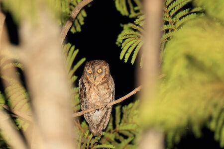 palawan: Mantanani Scops Owl  Otus mantananensis  n Palawan Island, Philippines