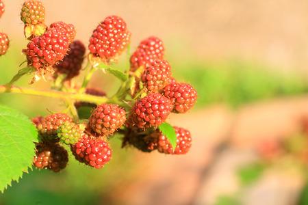 rubus: Blackberry  Rubus fruticosus  in Japan