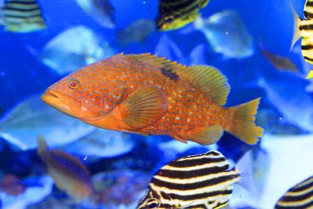 epinephelus: Redspotted grouper or Hong Kong grouper  Epinephelus akaara  in Japan  Stock Photo
