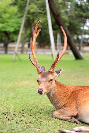 nippon: Sika Deer  Cervus nippon  in Japan Stock Photo