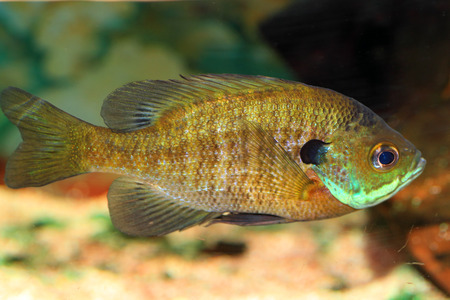 bluegill: Bluegill Sunfish  Lepomis macrochirus  in Japan Stock Photo