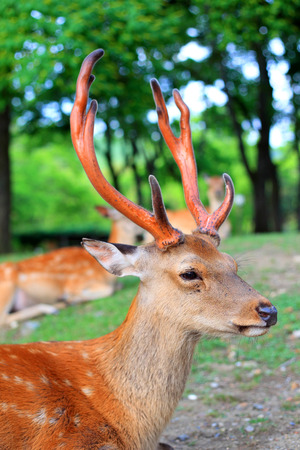 cervus: Sika Deer  Cervus nippon  in Japan Stock Photo