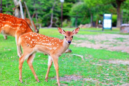 Sika Deer  Cervus nippon  fawn in Japan
