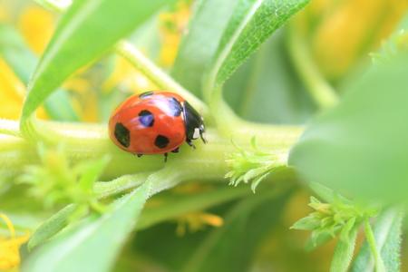septempunctata: Seven-spot ladybird  Coccinella septempunctata  in Japan