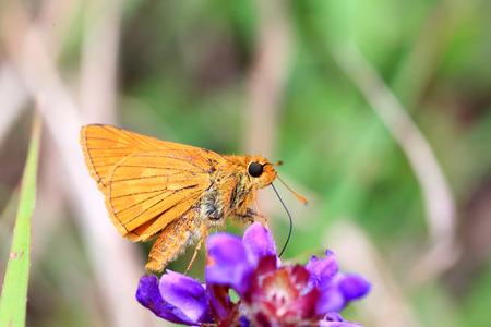 ochlodes: The Japanese Dart butterfly  Ochlodes venatus   in Japan
