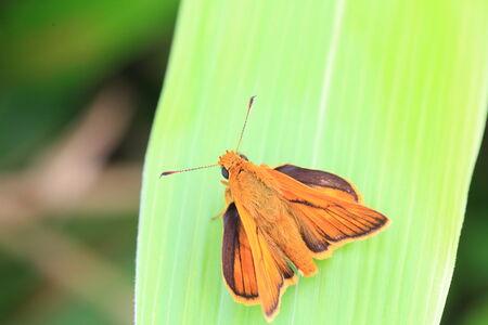 The Japanese Dart butterfly  Ochlodes venatus   in Japan