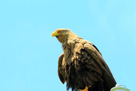 white tailed eagle: White-tailed sea eagle  Haliaeetus albicilla  in Hokkaido, Japan