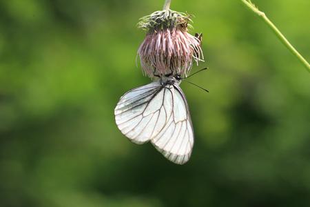 pieridae: Black-veined White  Aporia crataegi   in Hokkaido, Japan