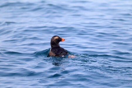 tufted puffin: Tufted Puffin  Fratercula cirrhata  juvnile in Hokkaido, Japan Stock Photo
