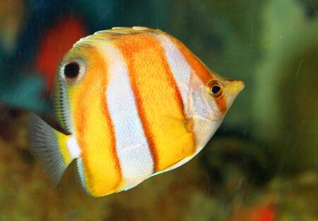 chaetodon: Brownbanded butterflyfish  Chaetodon modestus  in Japan