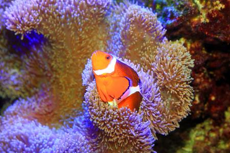 Ocellaris clownfish or Common clownfish or False percula clownfish  Amphiprion ocellaris  in Japan photo