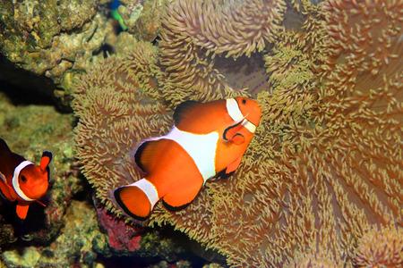 percula: Ocellaris clownfish or Common clownfish or False percula clownfish  Amphiprion ocellaris  in Japan Stock Photo