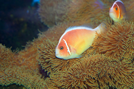 pink anemonefish: Pink skunk clownfish  Amphiprion perideraion  in Japan Stock Photo