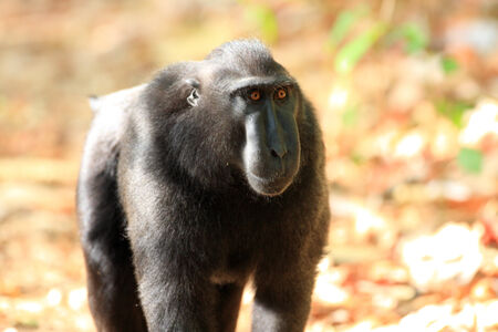 sulawesi: Celebes Crested Macaque  Macaca nigra  in Sulawesi, Indonesia Stock Photo