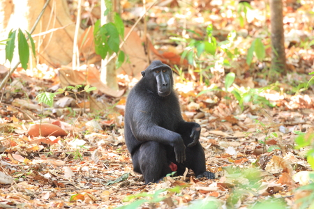 celebes: Celebes Crested Macaque  Macaca nigra  in Sulawesi, Indonesia Stock Photo