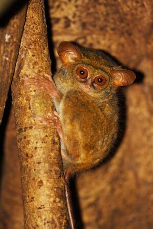 spectral: Spectral Tarsier  Tarsius tarsier  in Sulawesi, Indonesia