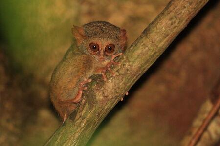 Spectral Tarsier  Tarsius tarsier  in Sulawesi, Indonesia