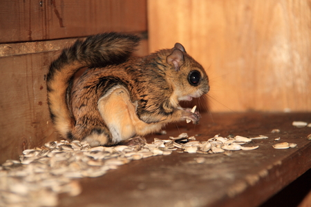 Japanese dwarf flying squirrel  Pteromys momonga  in Japan Stock Photo