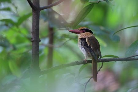 sulawesi: Lilac Kingfisher  Cittura cyanotis  in Sulawesi,Indonesia