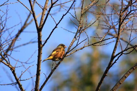 greenfinch: Grey-capped Greenfinch (Carduelis sinica) in Japan