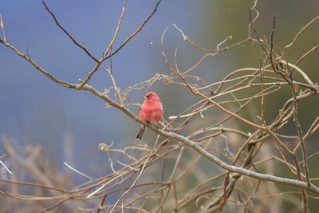 pallas: Pallas Rosefinch (Carpodacus roseus) in Japan