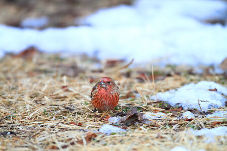 pallas: Pallas Rosefinch (Carpodacus roseus) in Japan