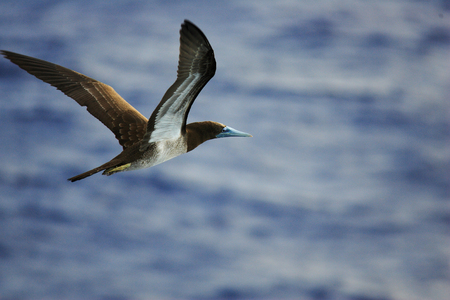 booby: Brown Booby (Sula leucogaster) in Japan