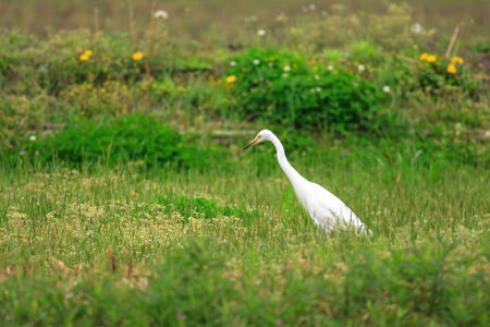 intermediate: Intermediate Egret (Ardea intermedia) in Japan