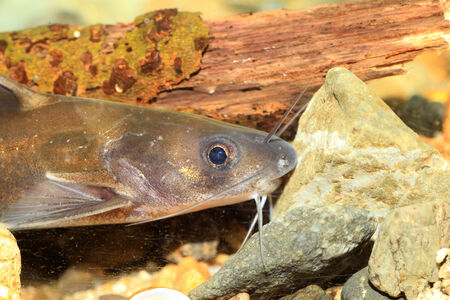 bullhead: Forktail bullhead catfish (Pelteobagrus nudiceps) in Japan