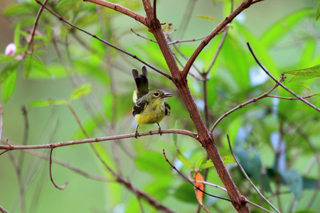 brown throated: Brown-throated sunbird (Anthreptes malacensis)