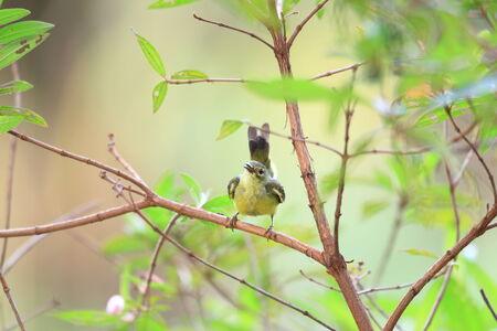 sunbird: Brown-throated sunbird (Anthreptes malacensis)