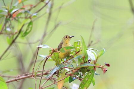 sunbird: Brown-throated sunbird (Anthreptes malacensis)  Stock Photo