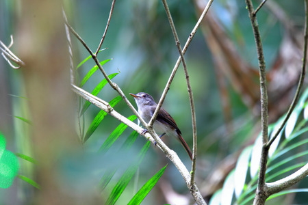 panti: Sooty-capped Babbler (Malacopteron affine) in Malaysia