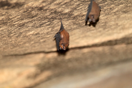 panti: Lesser sheath-tailed bat (Emballonura monticola) in Malaysia