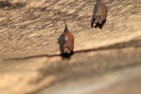 panti: Lesser sheath-tailed bat (Emballonura monticola) in Malaysia