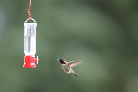 anna: Annas Hummingbird (Calypte anna ) in Vancouver,Canada Stock Photo