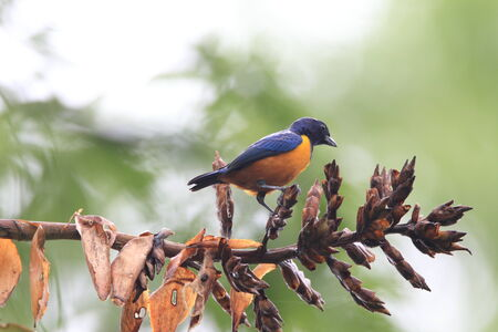 Orange-bellied Euphonia (Euphonia xanthogaster) in Ecuador photo