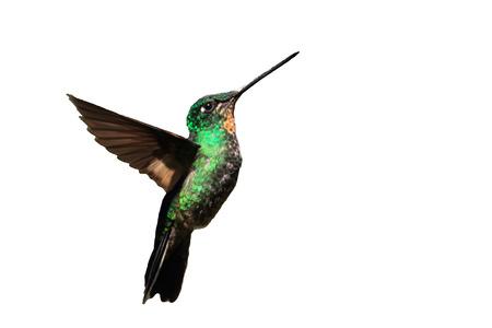 Tyrian Metaltail Hummingbird in Ecuador (White background) Stock Photo
