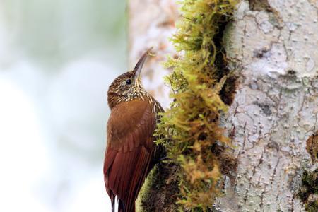 montane: Montane Woodcreeper (Lepidocolaptes lacrymiger) in Ecuador
