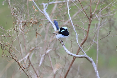 wilsons promontory: Superb Fairywren (Malurus cyaneus) in NSW, Australia