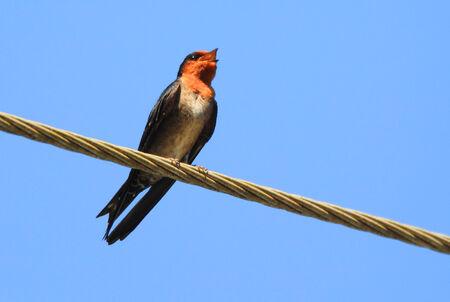 丘ツバメ (燕 domicola)、スリランカのヌワラエリヤ