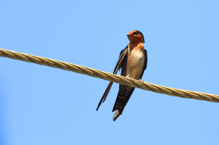 丘ツバメ (燕 domicola) スリランカ