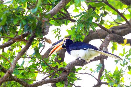 マラバルパイドホーンビル (Anthracoceros と) スリランカ