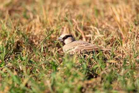 ashy: Ashy-crowned Sparrow-Lark (Eremopterix griseus) in Sri Lanka