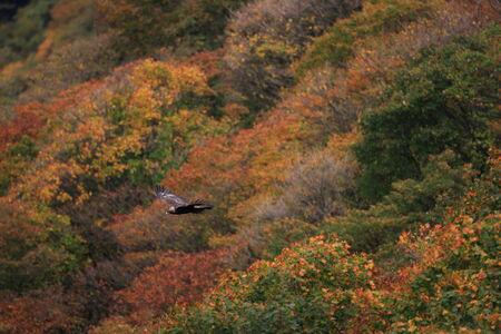 chrysaetos: �guila real (Aquila chrysaetos) volando en Jap�n