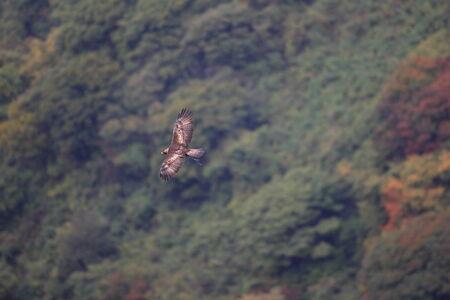 chrysaetos: Golden eagle (Aquila chrysaetos) flying In Japan Stock Photo