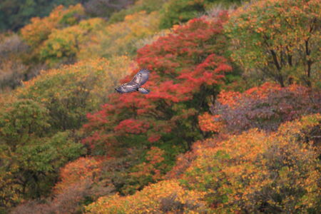 aquila: Golden eagle (Aquila chrysaetos) flying In Japan Stock Photo